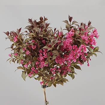 Weigela florida 'Minor Black'®