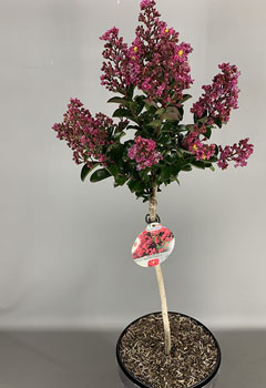 Lagerstroemia ind. 'Berry Dazzle'