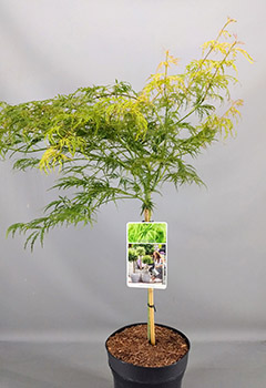 Acer palm. 'Dissectum'