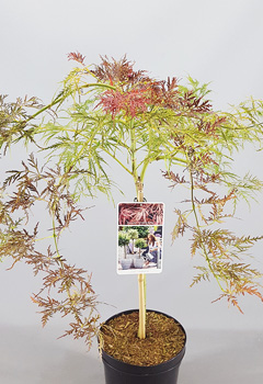 Acer palm. 'Inaba-Shidare'